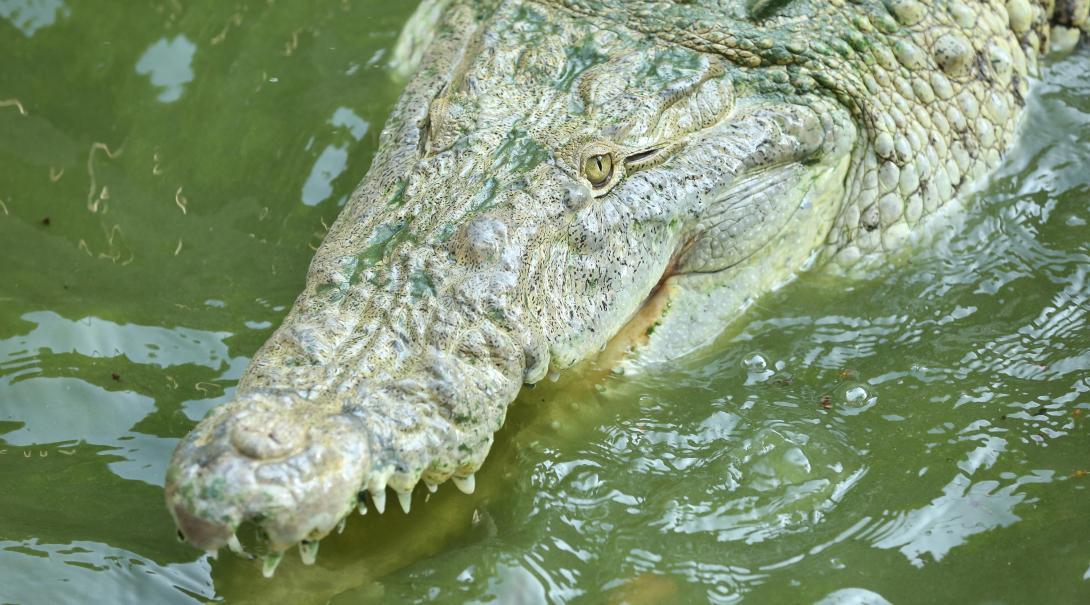 Projects Abroad naturskyddsvolontärer på sköldpaddsprojektet i Mexiko hjälper den lokala personalen på krokodilcentret i Tecoman.